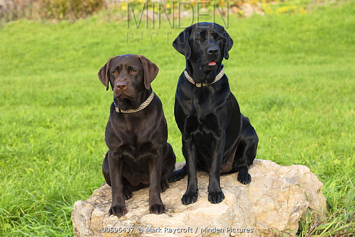 Labrador Retriever (Canis familiaris) pair, North America