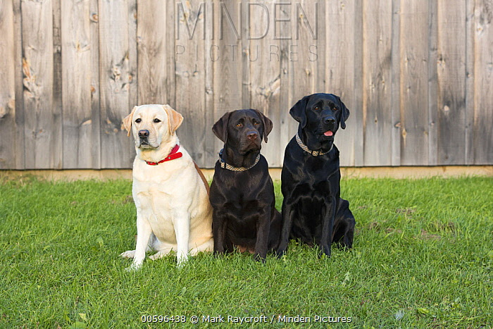 Yellow Labrador Retriever (Canis familiaris), Chocolate Labrador Retriever (Canis familiaris), and Black Labrador Retriever (Canis familiaris), North America