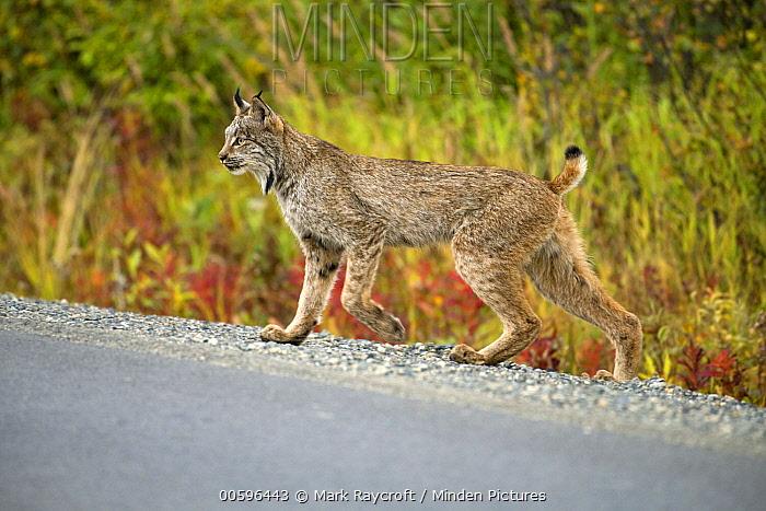 Canada Lynx (Lynx canadensis) crossing road, North America