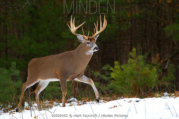 White-tailed Deer (Odocoileus virginianus) buck in winter, North America