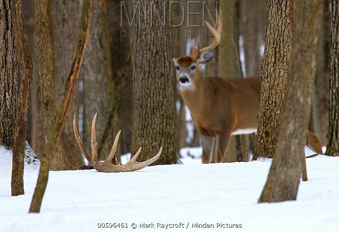 White-tailed Deer (Odocoileus virginianus) buck with one antler in winter, North America