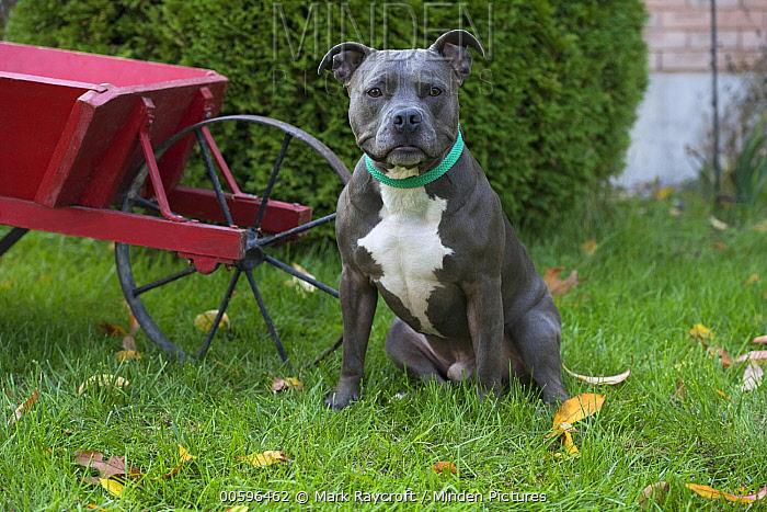 American Pit Bull Terrier (Canis familiaris), North America