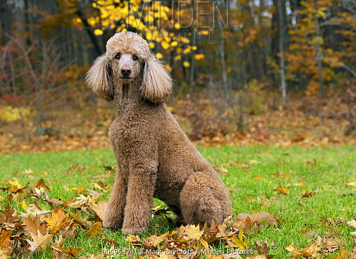 Standard Poodle (Canis familiaris), North America