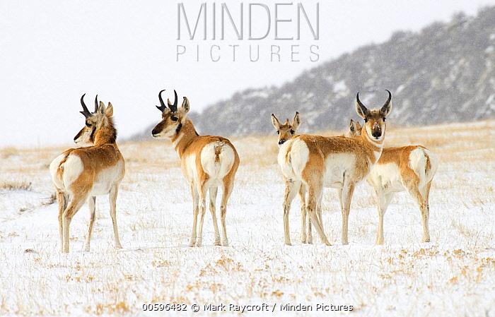 Pronghorn Antelope (Antilocapra americana) group in winter, North America