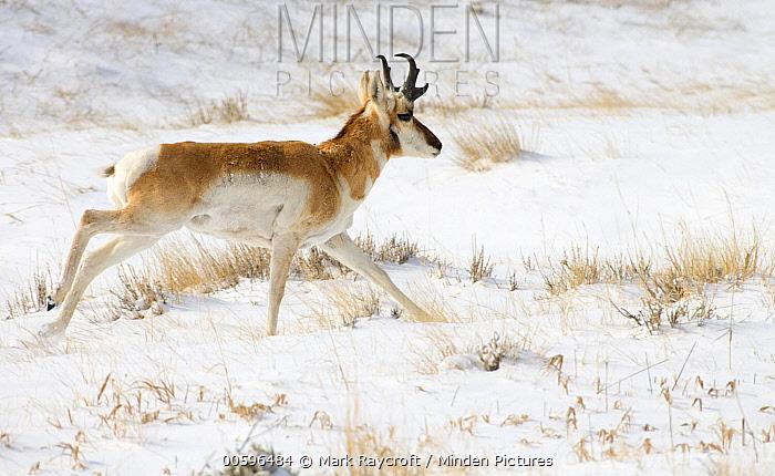 Pronghorn Antelope (Antilocapra americana) running in winter, North America