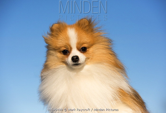 Pomeranian (Canis familiaris), North America
