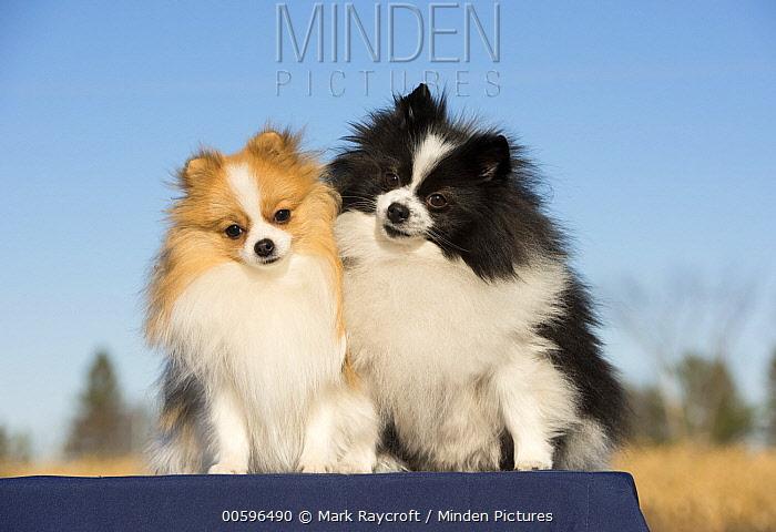 Pomeranian (Canis familiaris) pair, North America
