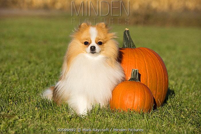 Pomeranian (Canis familiaris) in autumn, North America