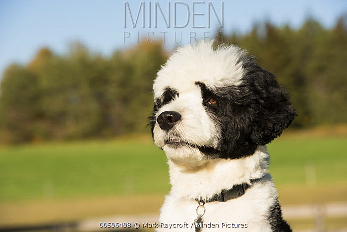 Portuguese Water Dog (Canis familiaris), North America