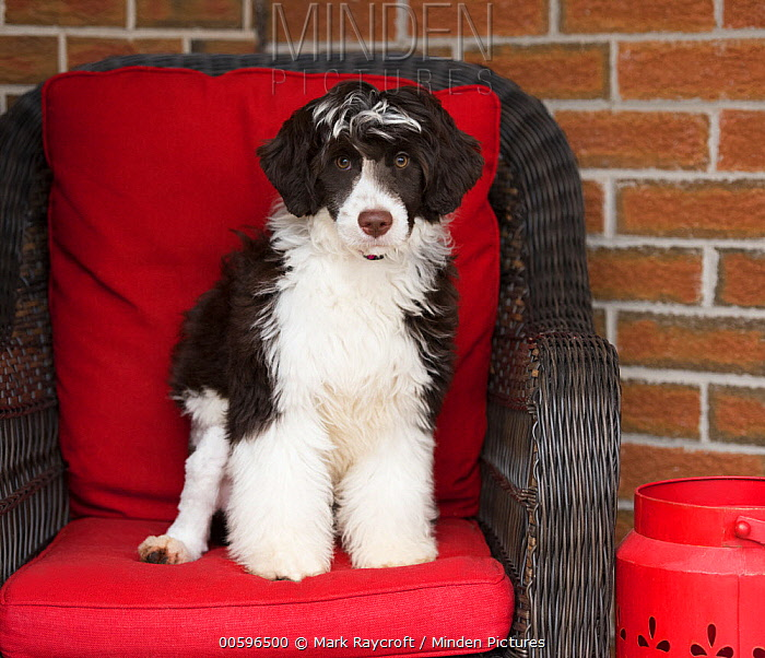 Portuguese Water Dog (Canis familiaris) puppy, North America