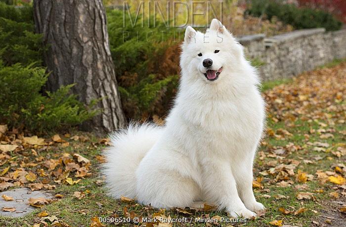Samoyed (Canis familiaris), North America