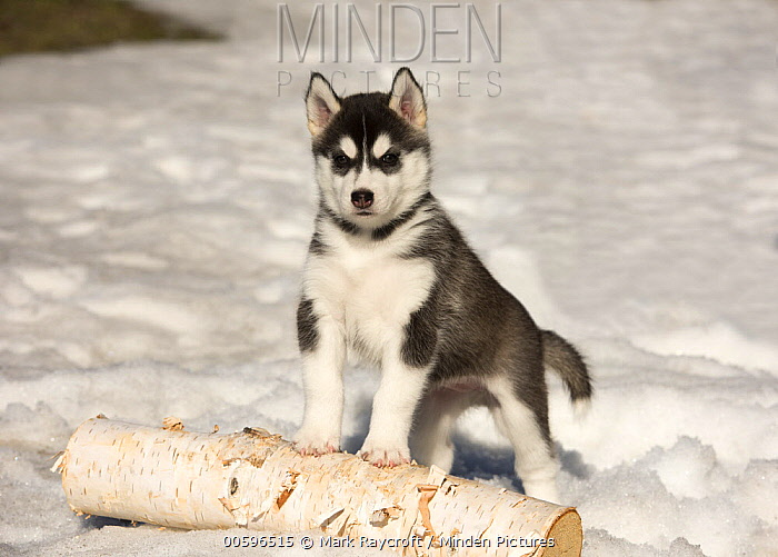Siberian Husky (Canis familiaris) puppy in winter, North America