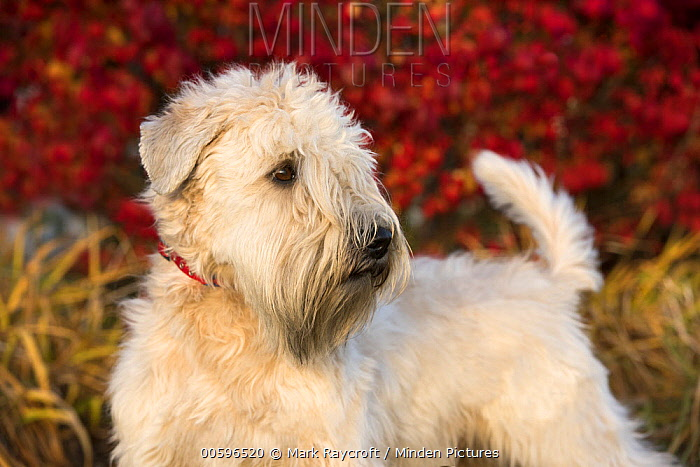 Soft-coated Wheaten Terrier (Canis familiaris), North America