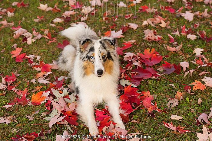 Shetland Sheepdog (Canis familiaris), North America
