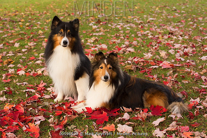 Shetland Sheepdog (Canis familiaris) pair, North America