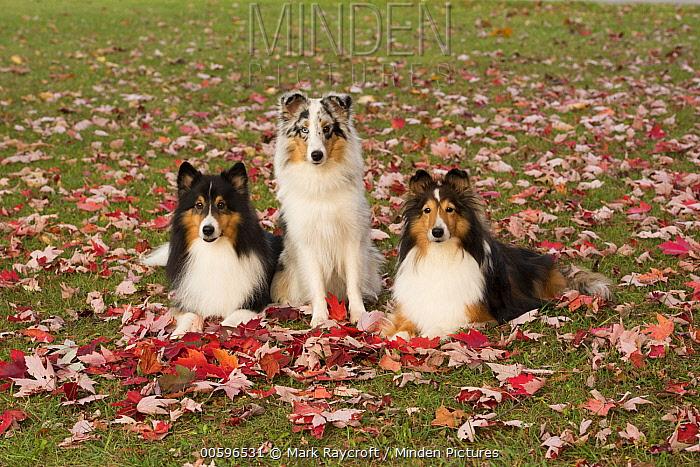 Shetland Sheepdog (Canis familiaris) trio, North America