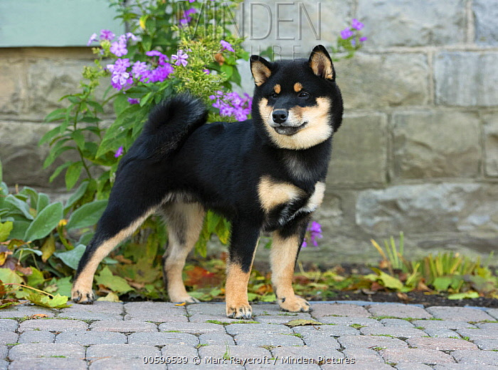 Shiba Inu (Canis familiaris), North America