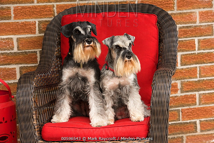 Miniature Schnauzer (Canis familiaris) pair, North America