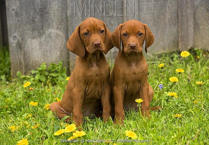 Vizsla (Canis familiaris) puppies, North America