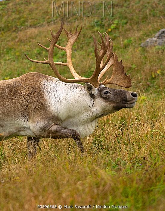 Woodland Caribou (Rangifer tarandus caribou) male displaying, Newfoundland, Canada