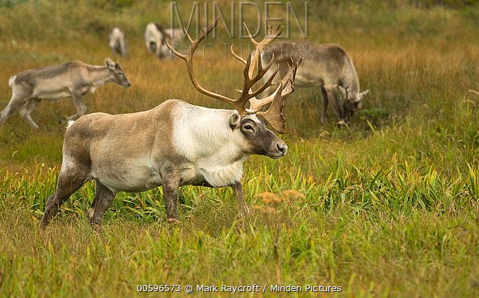 Woodland Caribou (Rangifer tarandus caribou) male, Newfoundland, Canada