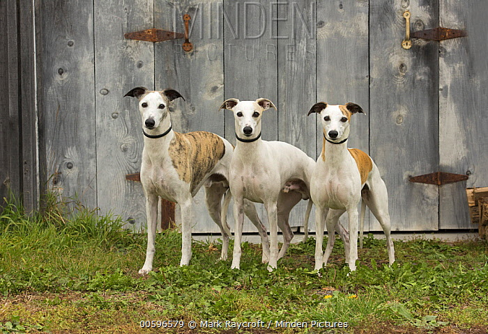 Whippet (Canis familiaris) trio, North America