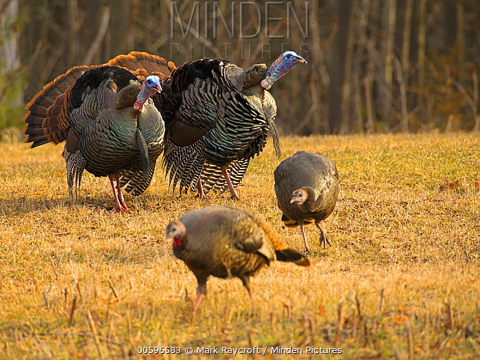 Wild Turkey (Meleagris gallopavo) males courting females, North America
