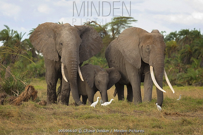 African Elephant (Loxodonta africana) females and calf with Cattle Egrets (Bubulcus ibis), Amboseli National Park, Kenya