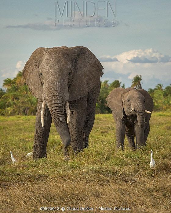 African Elephant (Loxodonta africana) mother and calf and Cattle Egrets (Bubulcus ibis), Amboseli National Park, Kenya