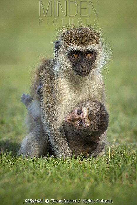 Vervet Monkey (Chlorocebus pygerythrus) mother and young, Amboseli National Park, Kenya