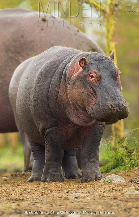 Hippopotamus (Hippopotamus amphibius) juvenile, Lake Naivasha, Kenya