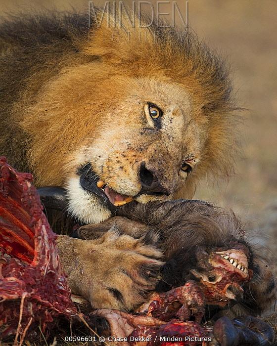 African Lion (Panthera leo) male feeding on Blue Wildebeest (Connochaetes taurinus) kill, Masai Mara, Kenya