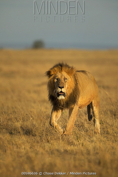 African Lion (Panthera leo) male in savanna, Masai Mara, Kenya