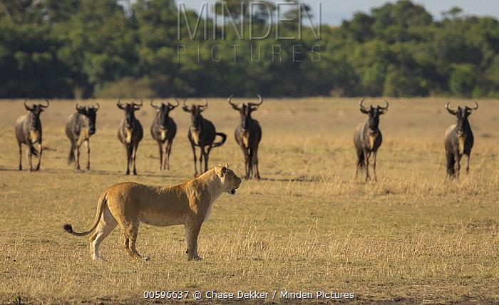 African Lion (Panthera leo) female near Blue Wildebeest (Connochaetes taurinus) herd, Masai Mara, Kenya