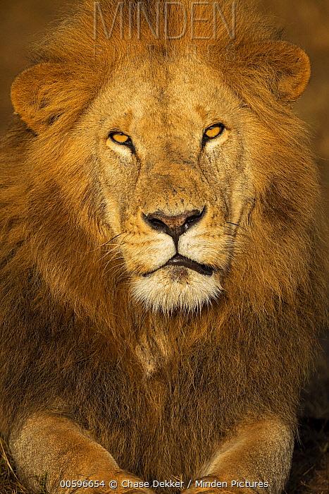 African Lion (Panthera leo) male, Masai Mara, Kenya