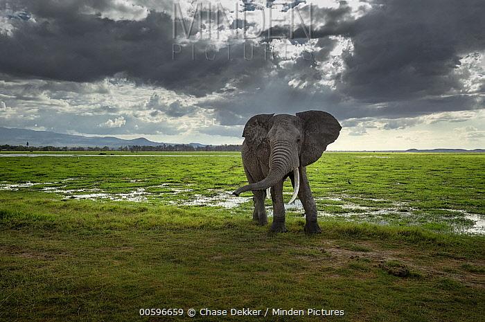 African Elephant (Loxodonta africana) bull in savanna, Amboseli National Park, Kenya