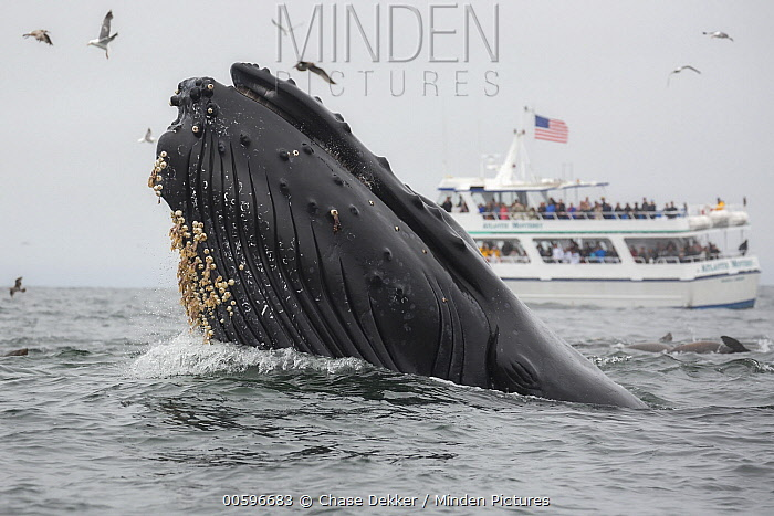 Humpback Whale (Megaptera novaeangliae) gulp feeding on Northern Anchovy (Engraulis mordax) near whale watching boat, Monterey Bay, California