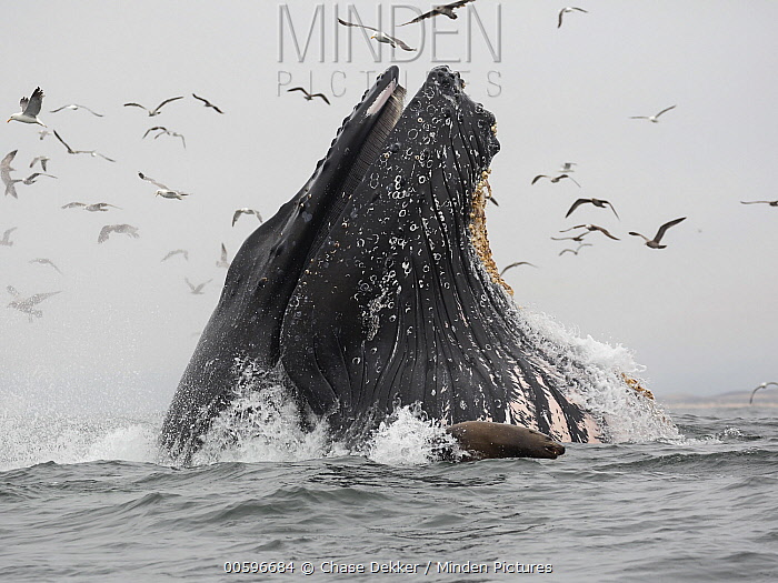 Humpback Whale (Megaptera novaeangliae) gulp feeding on Northern Anchovy (Engraulis mordax), Monterey Bay, California