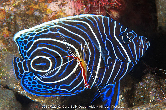 Emperor Angelfish (Pomacanthus imperator) juvenile being cleaned by Scarlet Cleaner Shrimp (Lysmata amboinensis), Tulamben, Bali, Indonesia