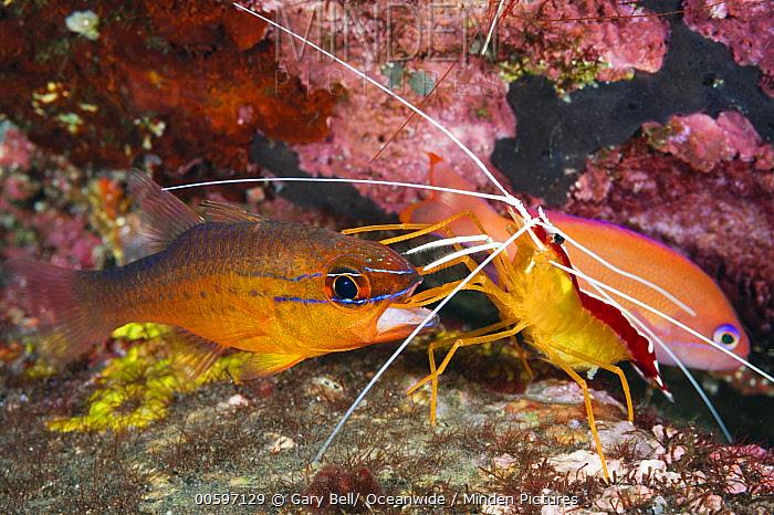 Scarlet Cleaner Shrimp (Lysmata amboinensis) cleaning mouth of Goldbelly Cardinalfish (Apogon apogonides), Tulamben, Bali, Indonesia