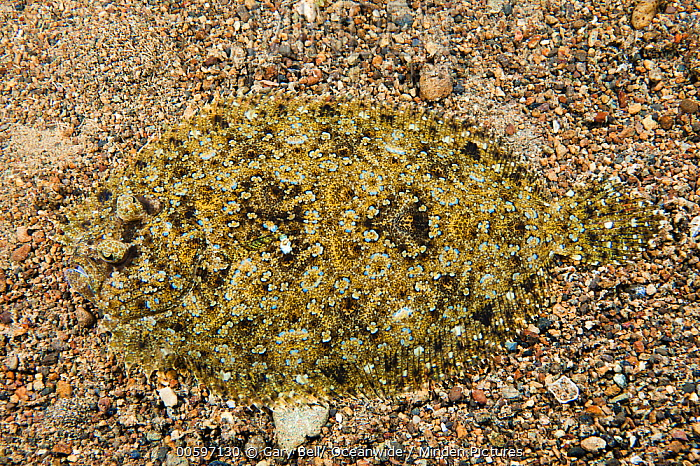 Leopard Flounder (Bothus pantherinus) camouflaged on ocean floor, Anilao, Philippines