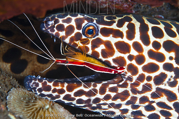 Scarlet Cleaner Shrimp (Lysmata amboinensis) cleaning Honeycomb Moray Eel (Gymnothorax favagineus), Tulamben, Bali, Indonesia