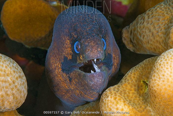 Blackcheek Moray (Gymnothorax breedeni), Christmas Island, Australia