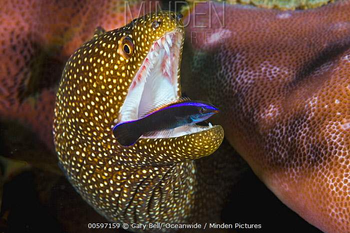 Whitemouth Moray (Gymnothorax meleagris) being cleaned by Cleaner Wrasse (Labroides sp) juvenile, Christmas Island, Australia