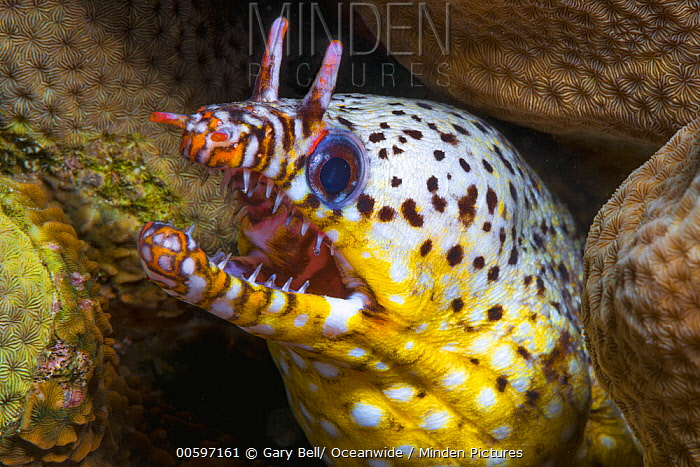 Dragon Moray (Enchelycore pardalis), Christmas Island, Australia