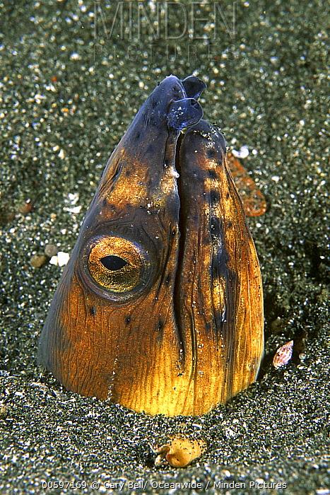 Black-finned Snake Eel (Ophichthus melanochir) buried in sand, Great Barrier Reef, Queensland, Australia