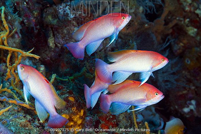 Stocky Anthias (Pseudanthias hypselosoma) males, Great Barrier Reef, Australia