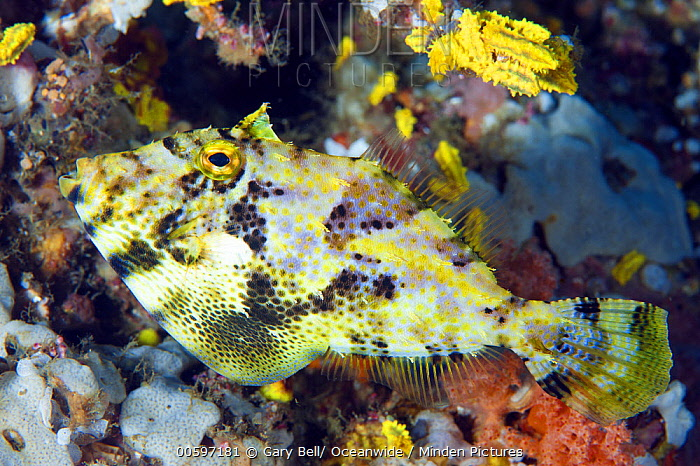 Strap-weed Filefish (Pseudomonacanthus macrurus), Anilao, Philippines