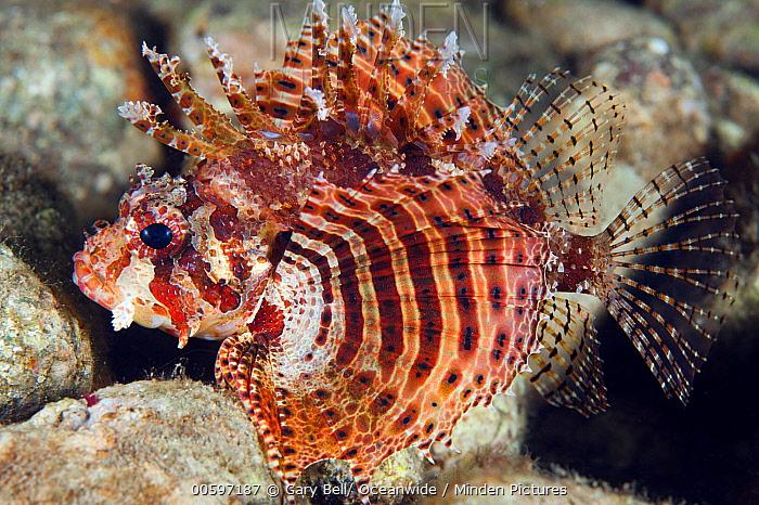 Shortfin Turkeyfish (Dendrochirus brachypterus), Anilao, Philippines