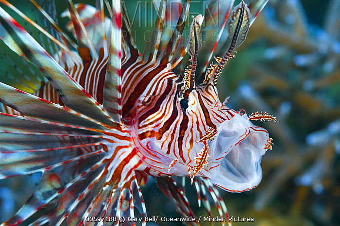 Common Lionfish (Pterois volitans), Great Barrier Reef, Australia